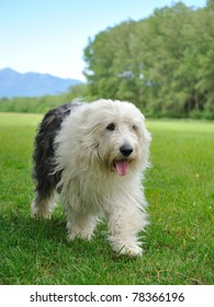 Big bobtail old english shipdog breed dog outdoors on a field