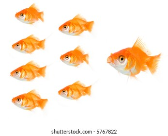 Big boss gold fish pushing the others to work