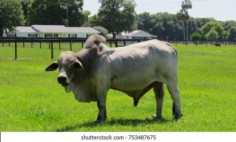 Brahma Bull Images Stock Photos Vectors Shutterstock