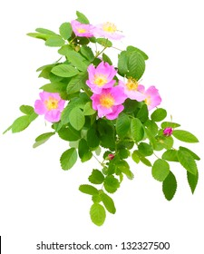 Big branch of dog rose with leaf, flower and bud. Isolated on white background. Close-up. Studio photography.