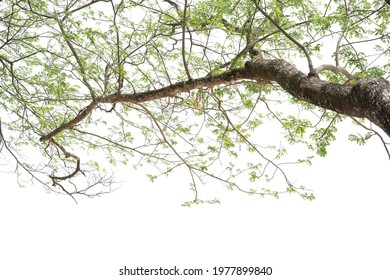 Big branch of growth tree isolated on white background. Large wood limb and greenery leaves natural frame wallpaper. Tropical botany pattern.
