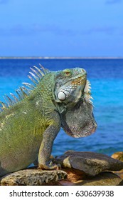 Big bright green iguana lizard sitting on the beach rocks at the edge of the ocean. Warm sunny exotic day, summer vacation, azure calm sea background. Iguana head profile, lizard body detail.