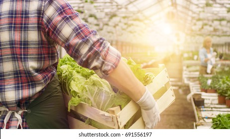 In Big Bright Industrial Greenhouse Farmer Walks with Box of Vegetables through Rows of Growing Plants.