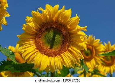 Big bright yellow sunflower in sunflower field blue sky.