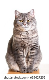Big British Shorthair Cat with yellow eyes portrait photo on white background