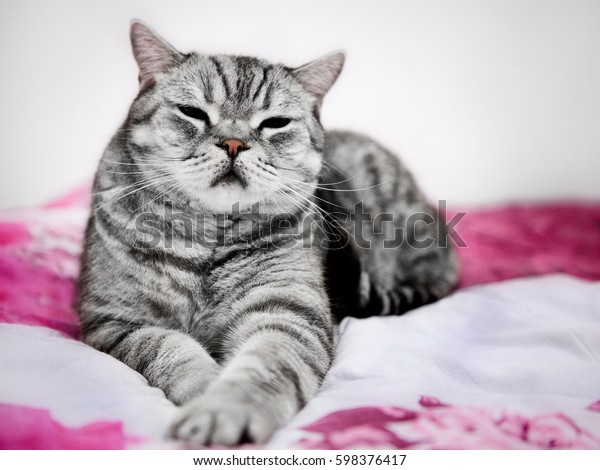 Big british shorthair grey striped cat laying on the bed relaxed