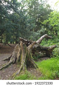 Big broken tree.  A huge stump in a forest clearing.  Felled old tree in the park.  Beautiful nature.