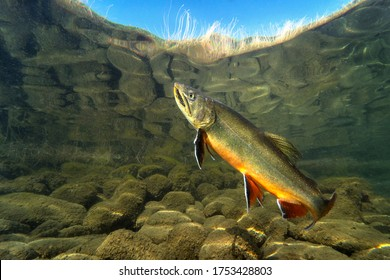 Big Brook trout (Salvelinus fontinalis) swimming in nice river. Beautiful Brook charr close up photo. Underwater photography in wild nature. Mountain creek habitat.