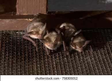 Big brown bat (Eptesicus fuscus fuscus)  hiding under the roof of the house