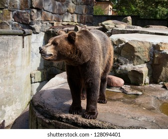 big brown bear in city zoo on sunny summer day