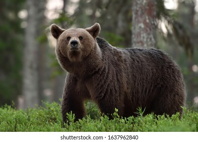 big brown bear in forest at summer