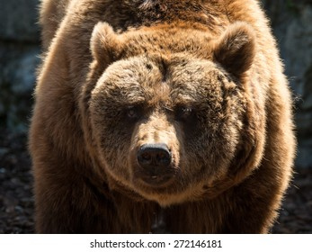 Big brown bear looking at you