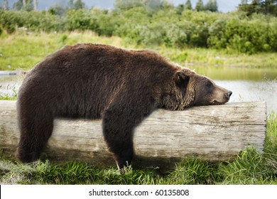 A big brown bear looks very relaxed, straddling a log and sleeping.