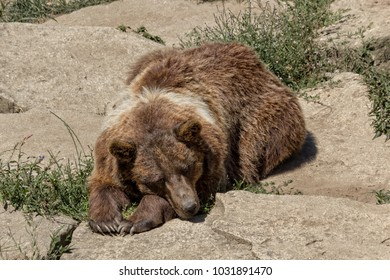 Big brown bear with pale stains on fur lying on stone in sunny day.