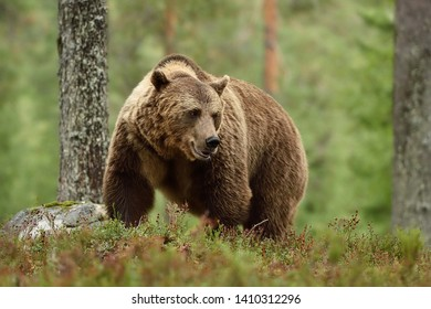Big brown bear with powerful pose in forest. Bear with serious look.