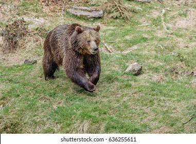 A big brown bear running. Brown bear jumps on grass. Portrait of a brown bear.