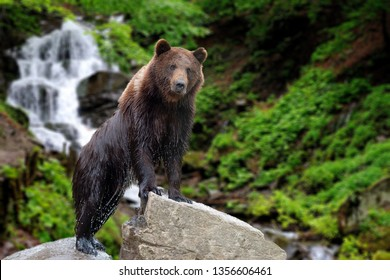 Big brown bear standing on stone on forest waterfall background