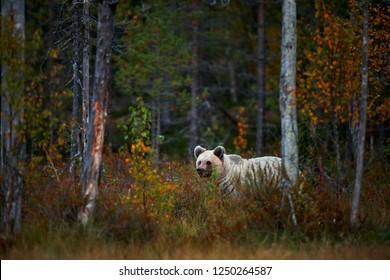 Big brown Brown bear (Ursus arctos) from Finland. Beautiful brown bear walking around lake with autumn colours.