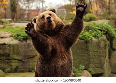 Big brown bear (Ursus arctos) posing for photo in Zoo. Sitting, applause and catch an apple. Kaliningrad, Russia.