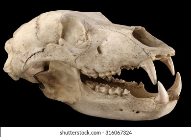 Big brown bear (Ursus arctos) old skull isolated on a black background. Isolation by pen tool. Diagonal view. Focus on full depth.