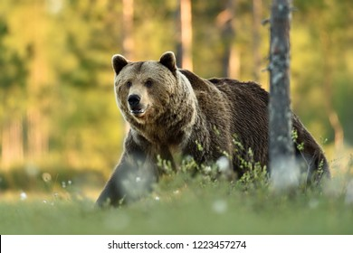 Big brown bear walking at summer scenery