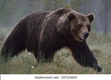 big brown bear walking at summer night