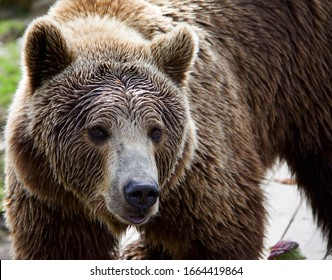 Big brown bear walks to water