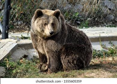 A big brown bear in a wildlife sanctuary in Pristina, Kosovo