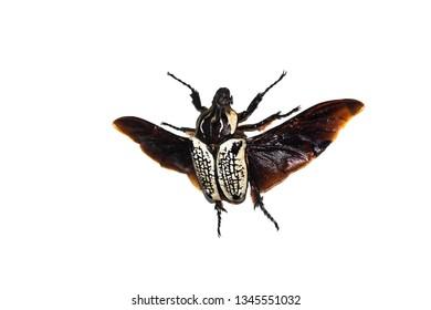 Big brown beetle, isolate on a white background, goliatbus albosigna thus