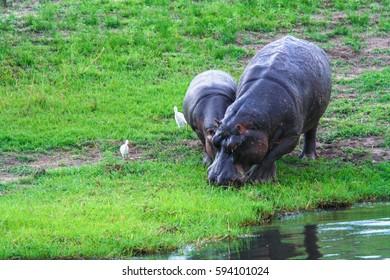 The Big Brown Behemoth (Hippopotamus amphibius) with hippo child, Chobo park, Botswana
