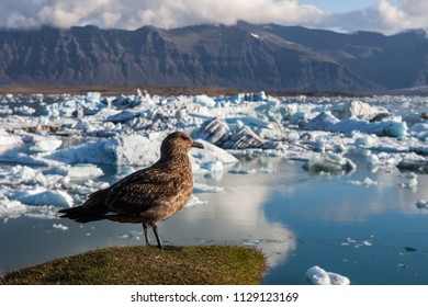 Big brown bird standing on a hill above icebergs in Jokulsarlon glacier lagoon. Global warming and climate change concept with melting ice. Base of the Vatnajokull glacier at Jokulsarlon, Iceland.