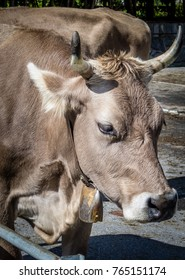 Big brown Cow with bell