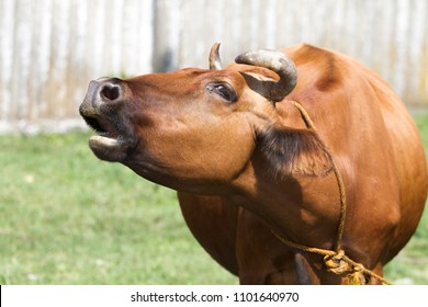 Big brown cow on a hot Sunny day. Cow mooing.