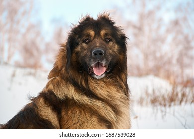 Big brown dog, caucasian shepherd on a snowy winter field, looking straight with open mouth and tongue out, cropped ears