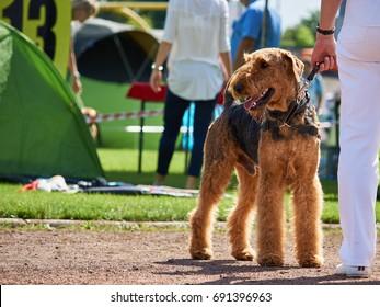 Big brown dog on dog show