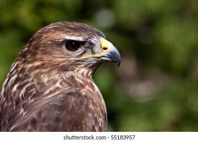 Big brown eagle bird head in closeup