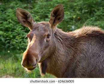 Big brown moose staring curiously in close up animal portrait.