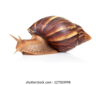 Big brown snail crawls on white background