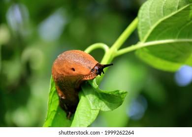 Big Brown Spanish slug (arion vulgaris) on a grass , Close-up. Invasive animal species. Big slimy brown snail slugs crawling in the summer garden