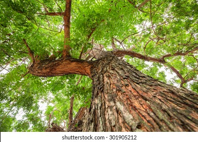 Big brown trunk and new green leaf of old neem tree