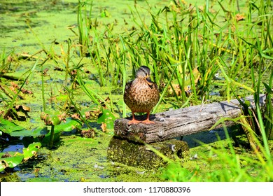 A big brown, white and black duck or drake standing on a wooden plank in the middle of a swamp covered from all sides with grass, reeds, moss, and lilly pads seen during sunny autumn day in Poland