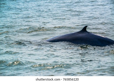 Big Bryde's Whale, Eden's whales living in the gulf of Thailand