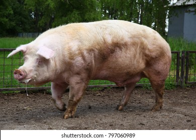 Big buck pig waiting for the sows at rural animal farm