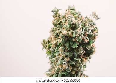 big bud marijuana cannabis plant