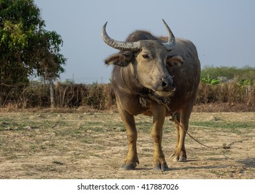 Big buffalo standing on field with nature background