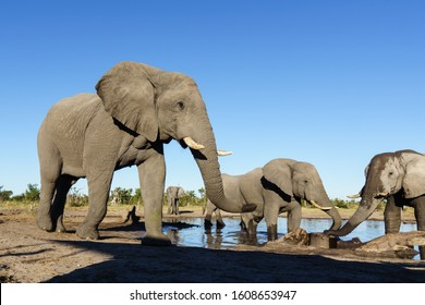Big bull elephant approaches a waterhole where other elephants are drinking. Botswana, Africa.