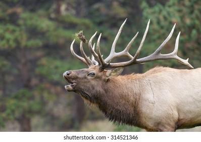Big Bull elk Bugling in the Rut