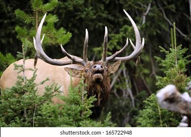 Big Bull Elk Charging