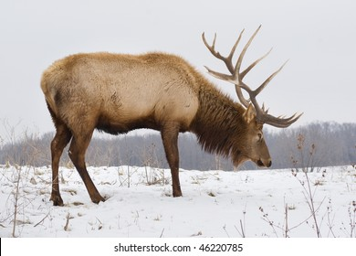 A big bull elk searching for food in the snow on a snowy day.