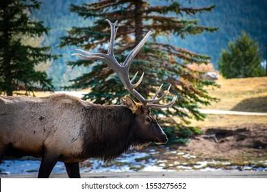 Big bull elk walking along side of the road.